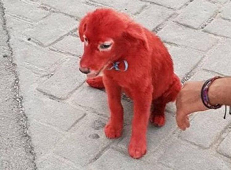 Εικόνες-σοκ στη Χαλκίδα: Έβαψαν σκυλάκι με κόκκινη βαφή μαλλιών και το παράτησαν στους δρόμους!