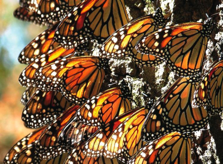 Αμμόχωστος: Απίστευτο θέαμα με χιλιάδες πεταλούδες