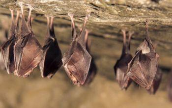 Έρευνα-Covid19: Άρρωστες νυχτερίδες κρατούν αποστάσεις να μην κολλήσουν άλλες