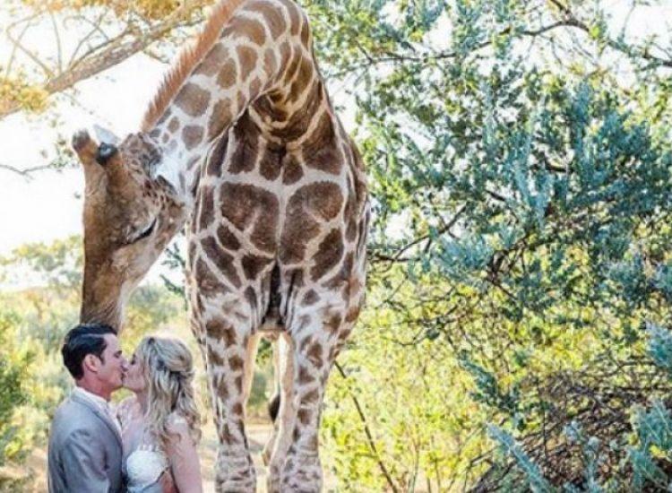 Καμηλοπάρδαλη «εισέβαλε» σε γαμήλια φωτογράφιση