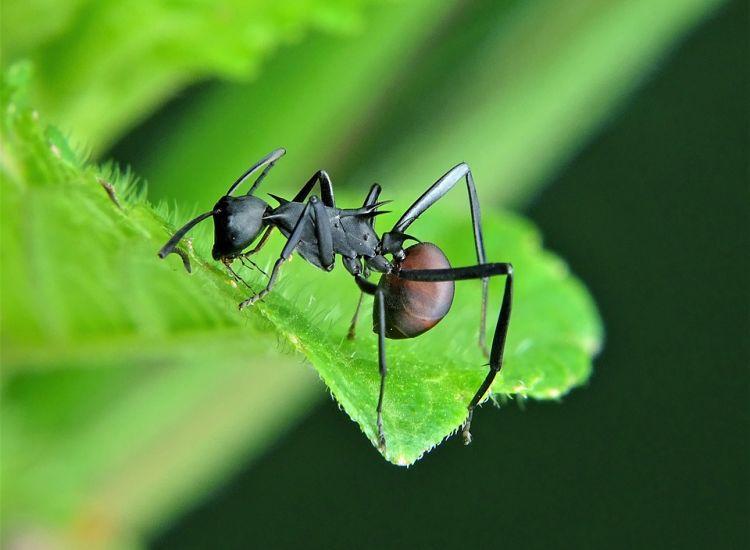 """Μυρμήγκια """"έχτισαν"""" γέφυρα για να επιτεθούν σε φωλιά με σφήκες (video)"""